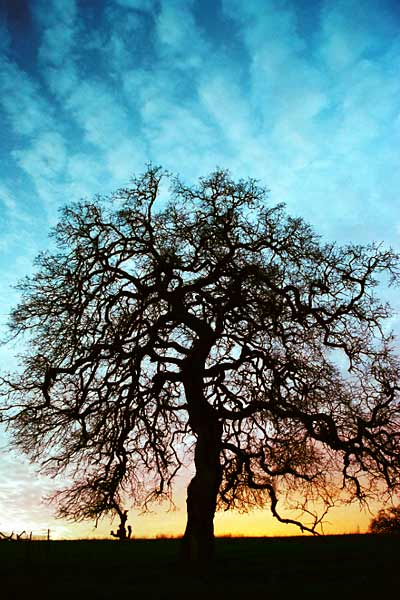 Photo by Scott Haefner: Arastradero Oak