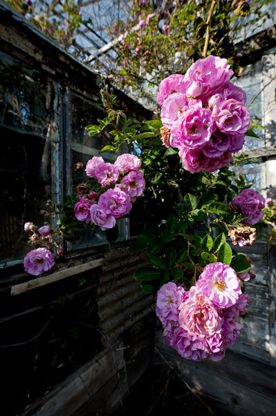 Photo by Scott Haefner: Ghost Roses
